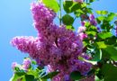 (Video) În Mureş se prepară dulceaţă şi sirop din flori de liliac