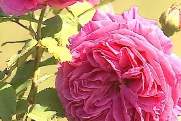 Comerţul cu produse din trandafiri, o afacere profitabilă