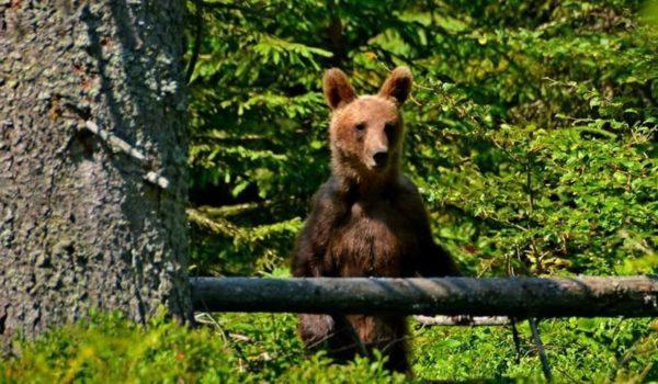 Avertisment al salvamontiştilor din Mureş: Un urs tânăr s-a instalat în Aria Protejată Scaunul Domnului