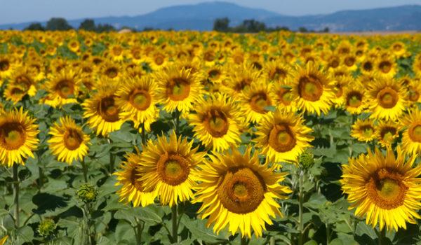 Culturile viitoare de sfeclă, floarea soarelui şi porumb, în pericol după interzicerea tratării seminţelor cu neonicotinoide