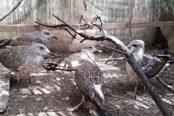 (Video) Nouă pui de pescăruşi, eliberaţi în natură în Târgu Mureş