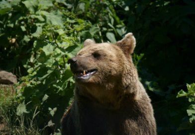 Atacul ursului care a rănit grav un bărbat s-a produs pe raza judeţului Harghita