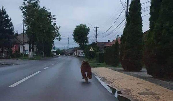 Se plimbă ursul, relaxat