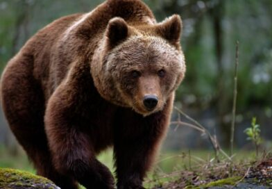 Un bărbat din comuna Gornești a fost ucis de un urs